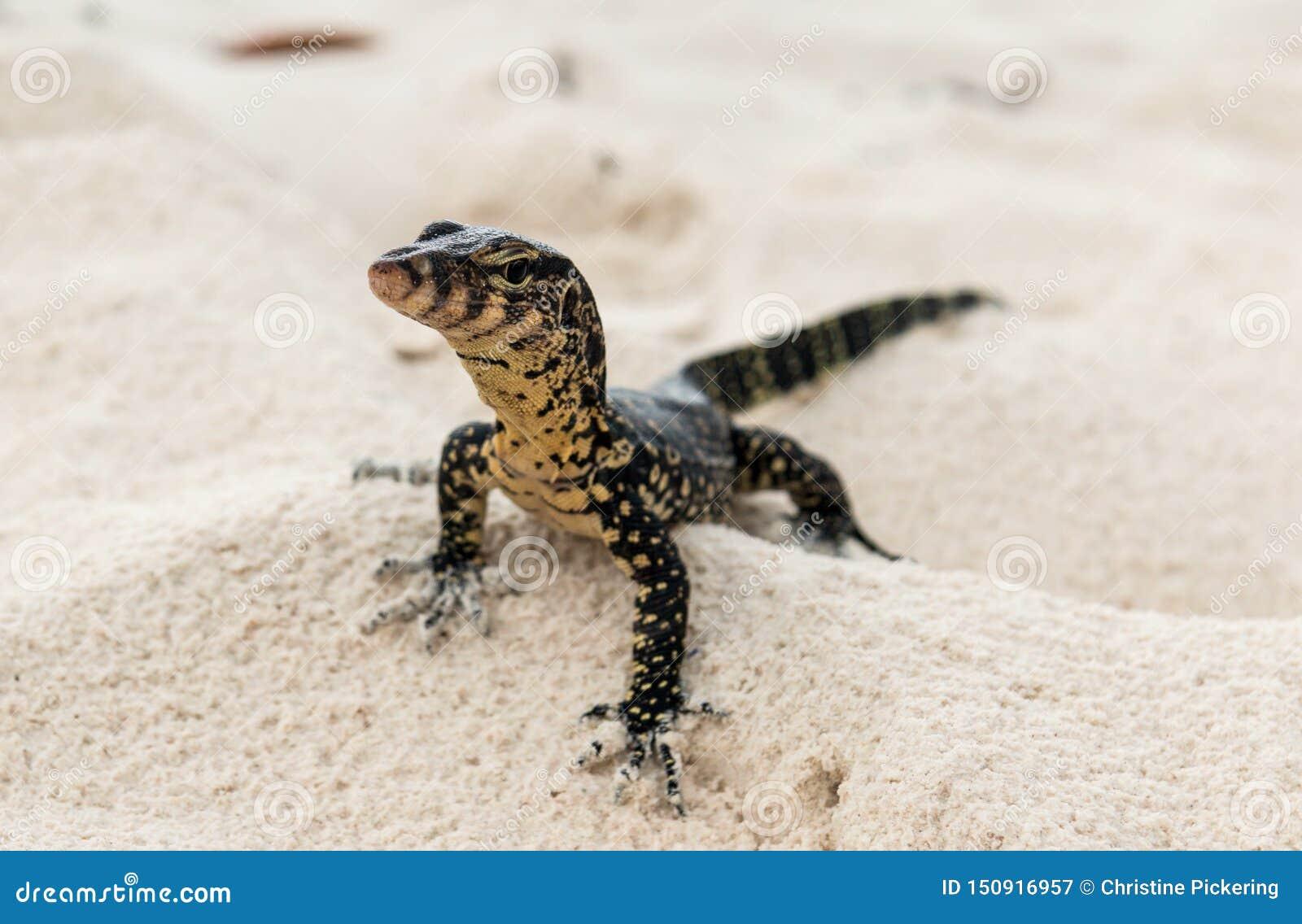 En gecko jagar för rov på en thailändsk strand