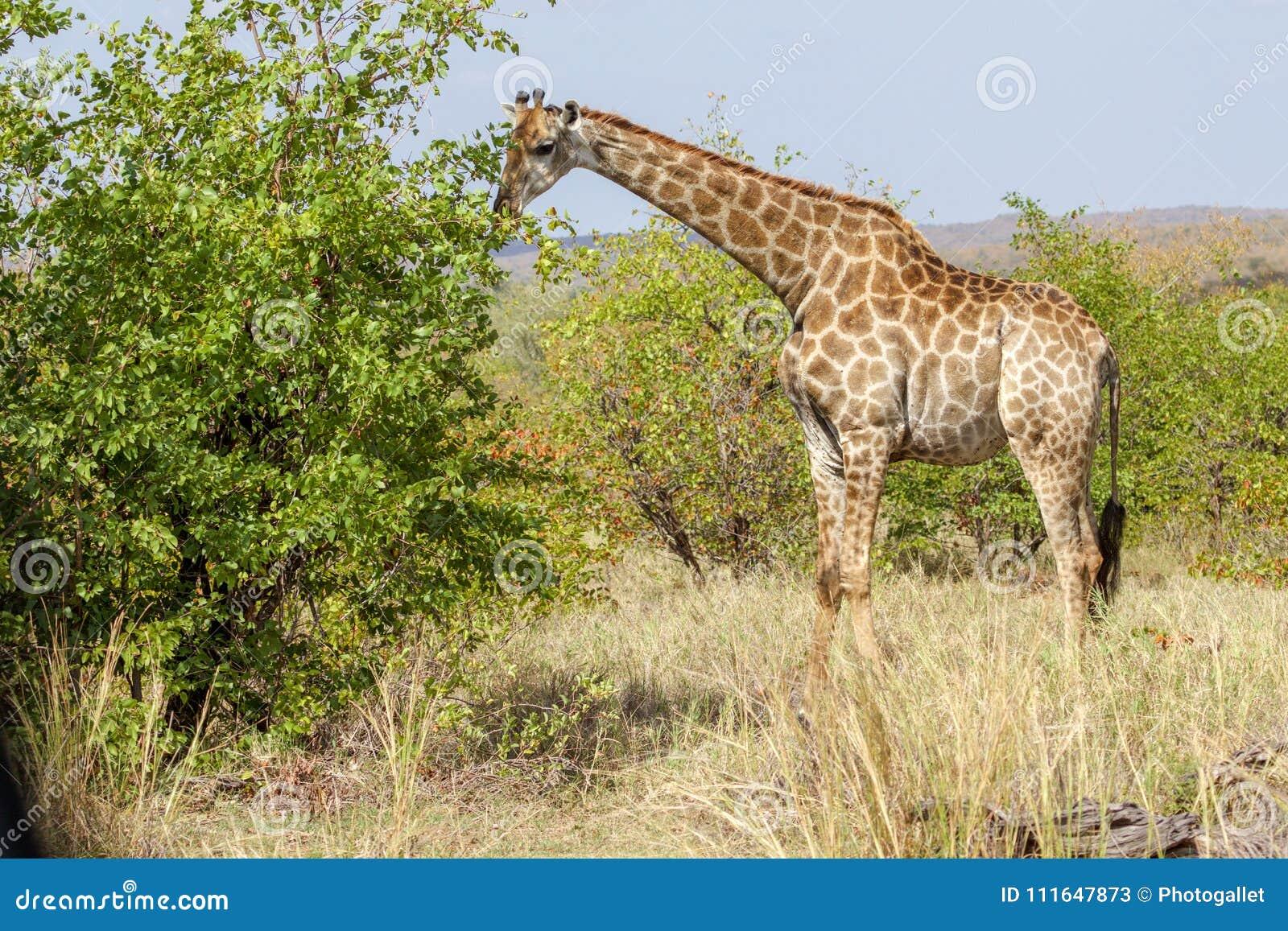 En giraff som äter ett träd i den Kruger nationalparken