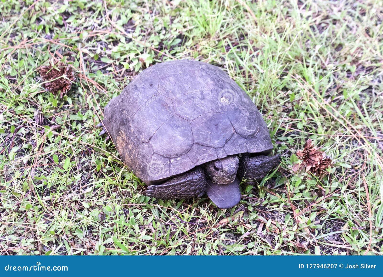 En goffersköldpadda i en defensiv position i gräset