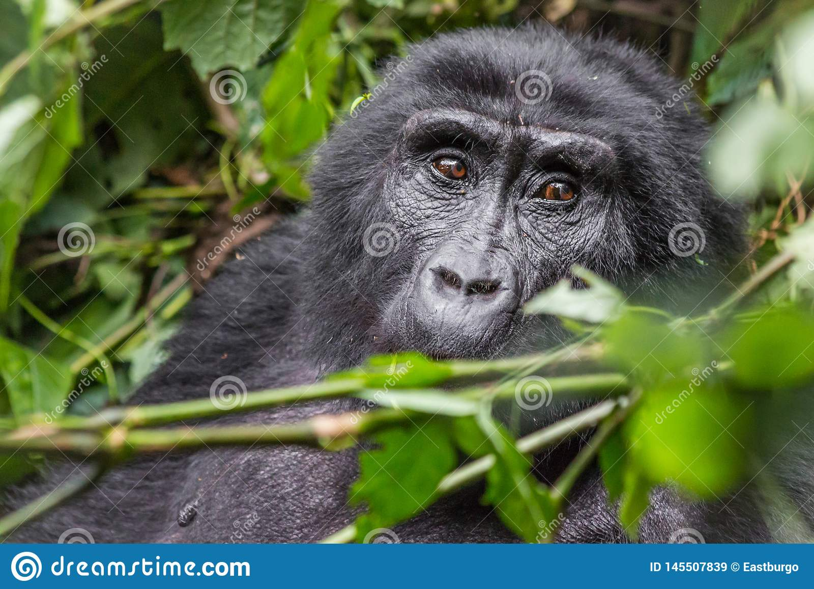 En gorilla äter sidor i den ogenomträngliga skogen