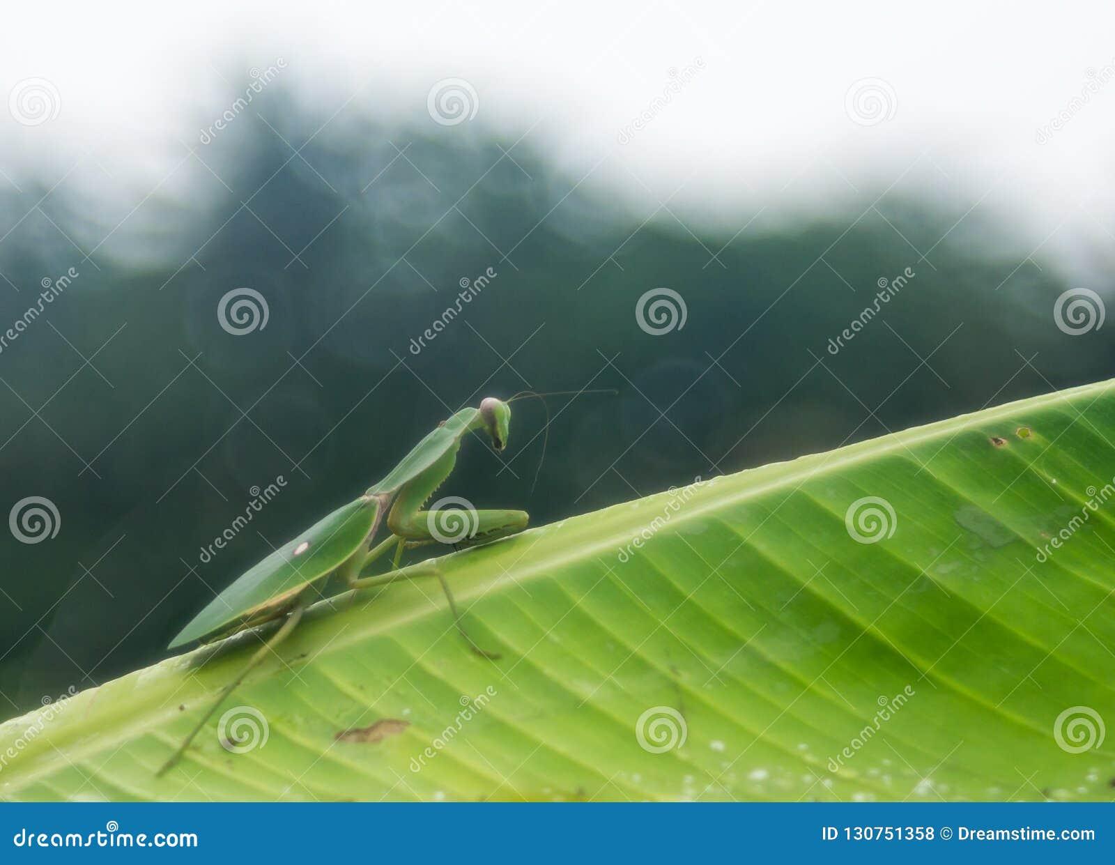 En grön bönsyrsa som ber på bananbladet