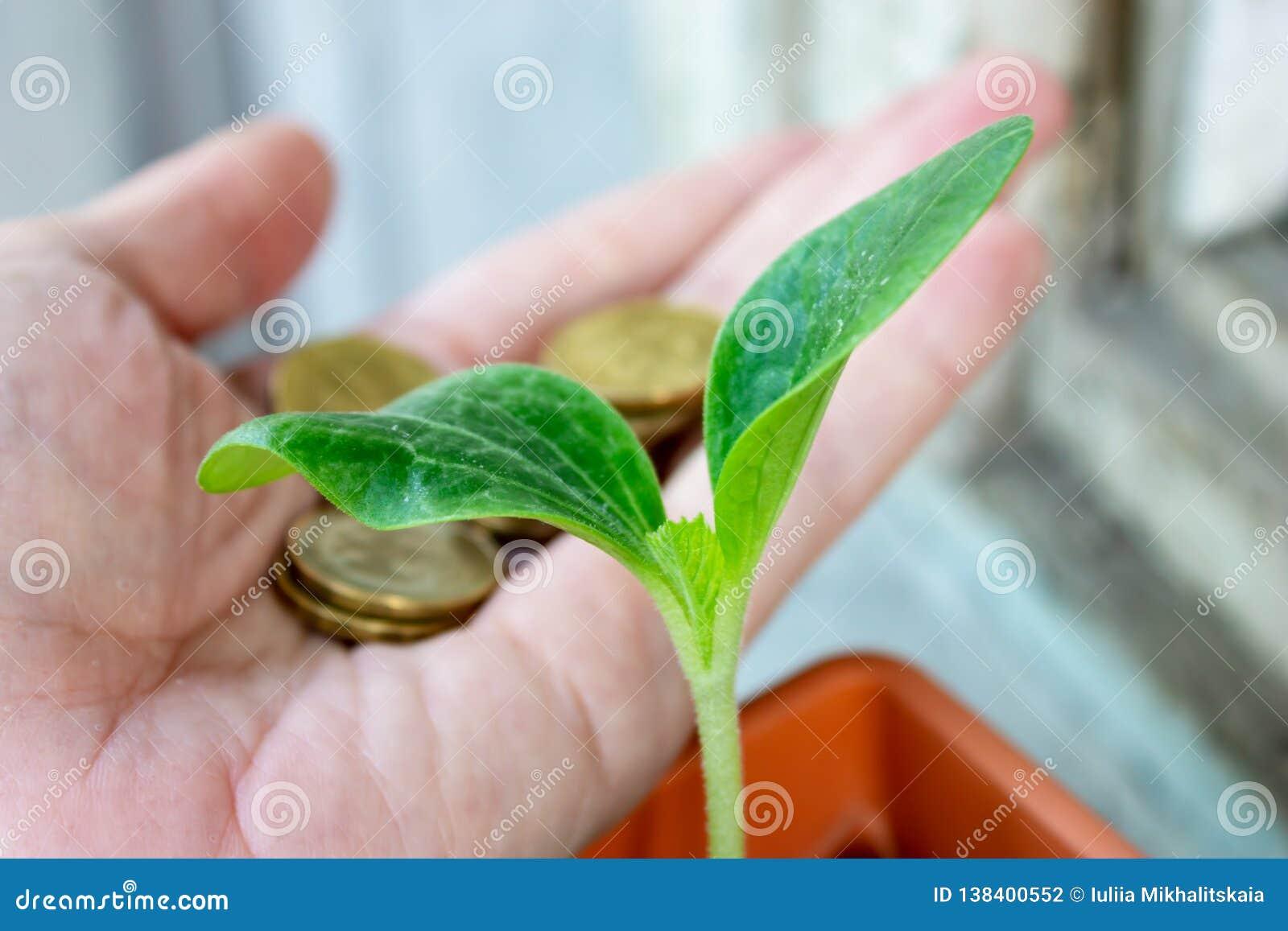 En grön planta av zucchinin och en hand med mynt på bakgrund - ekonomi och finansiellt växande begrepp