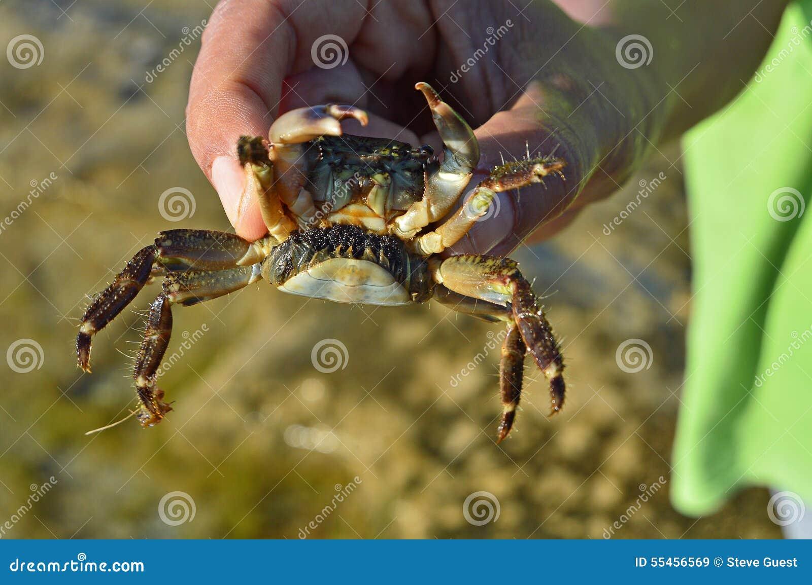 äta krabba gravid