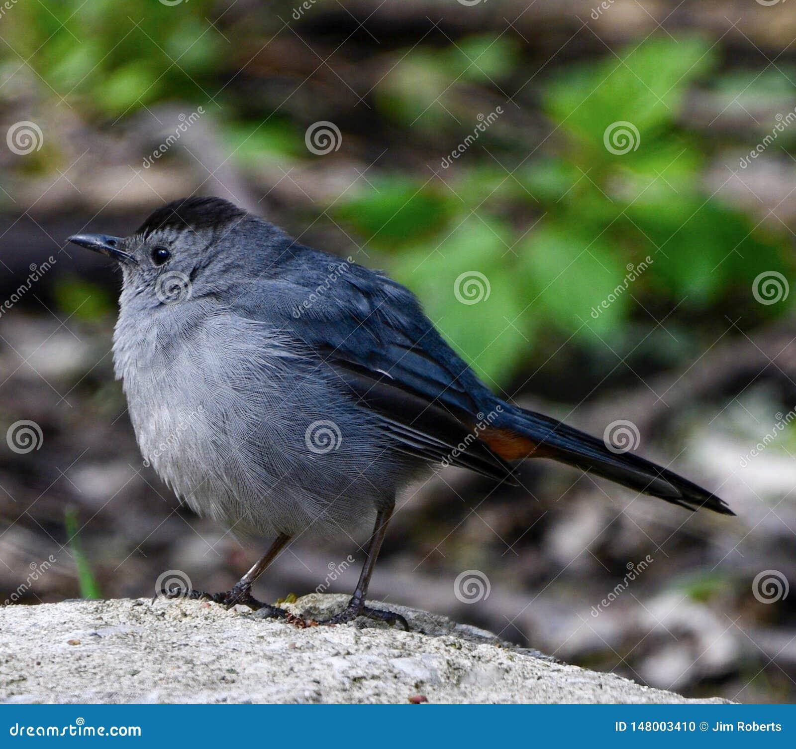 En Gray Catbird #2