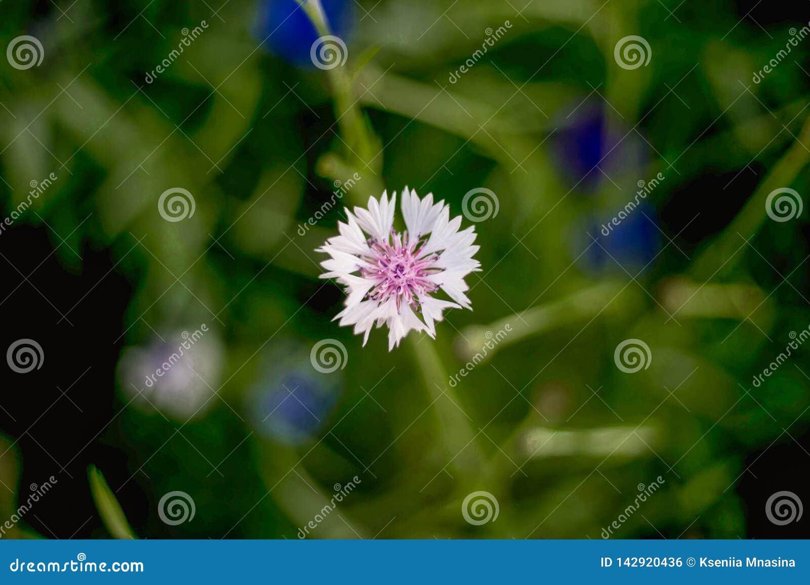 En gros plan de la fleur blanche de bleuet sur le fond brouillé