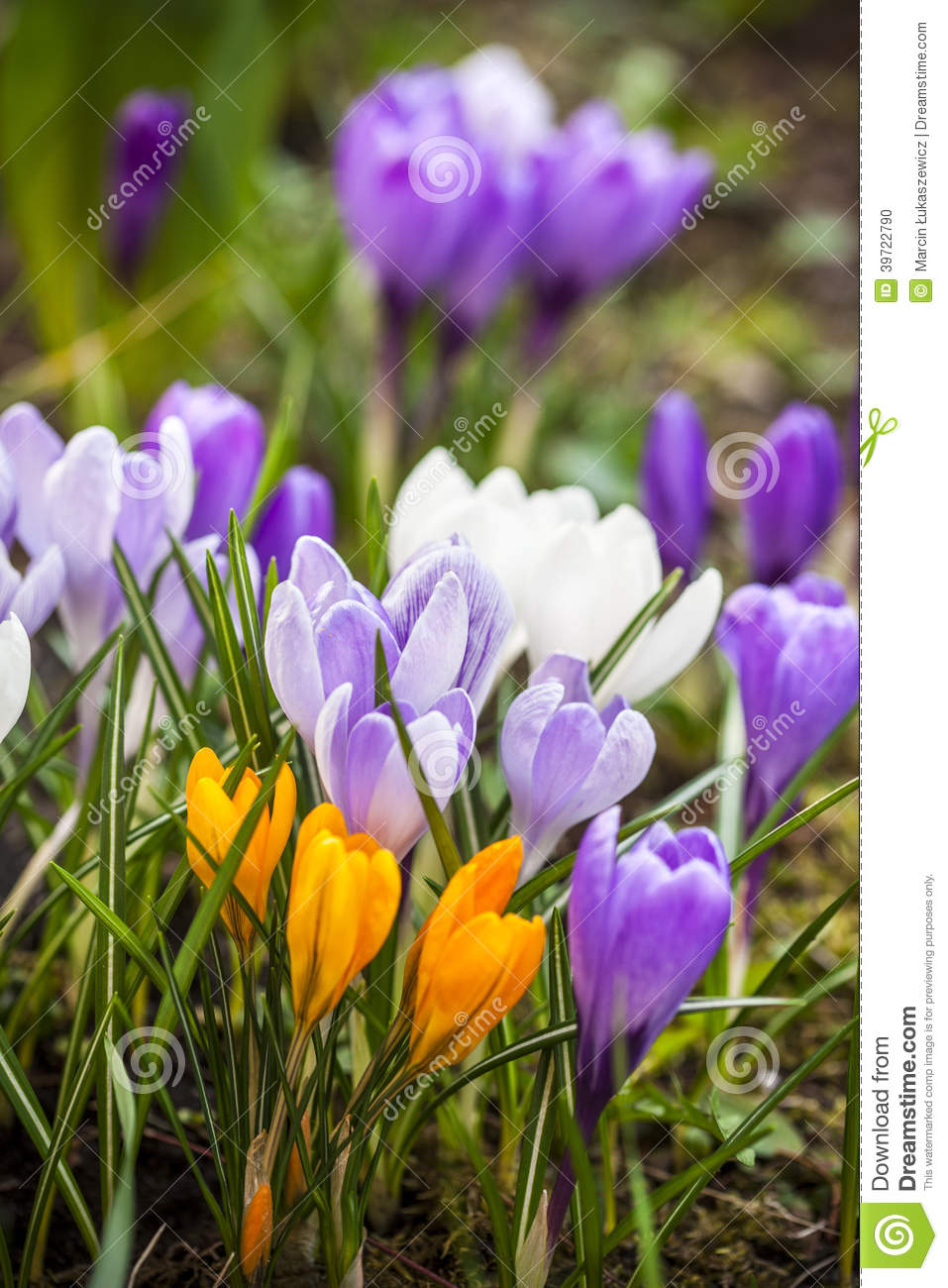 en gros plan de petites fleurs violettes de jardin de crocus photo stock image du instruction. Black Bedroom Furniture Sets. Home Design Ideas