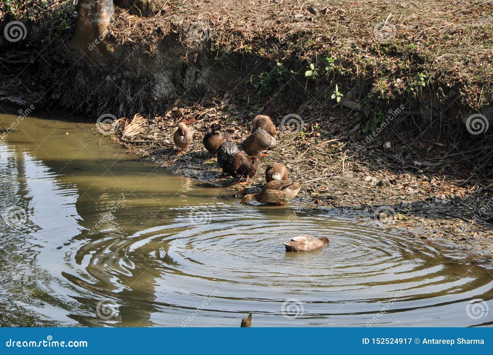 En grupp av änder som simmar i ett damm i en by