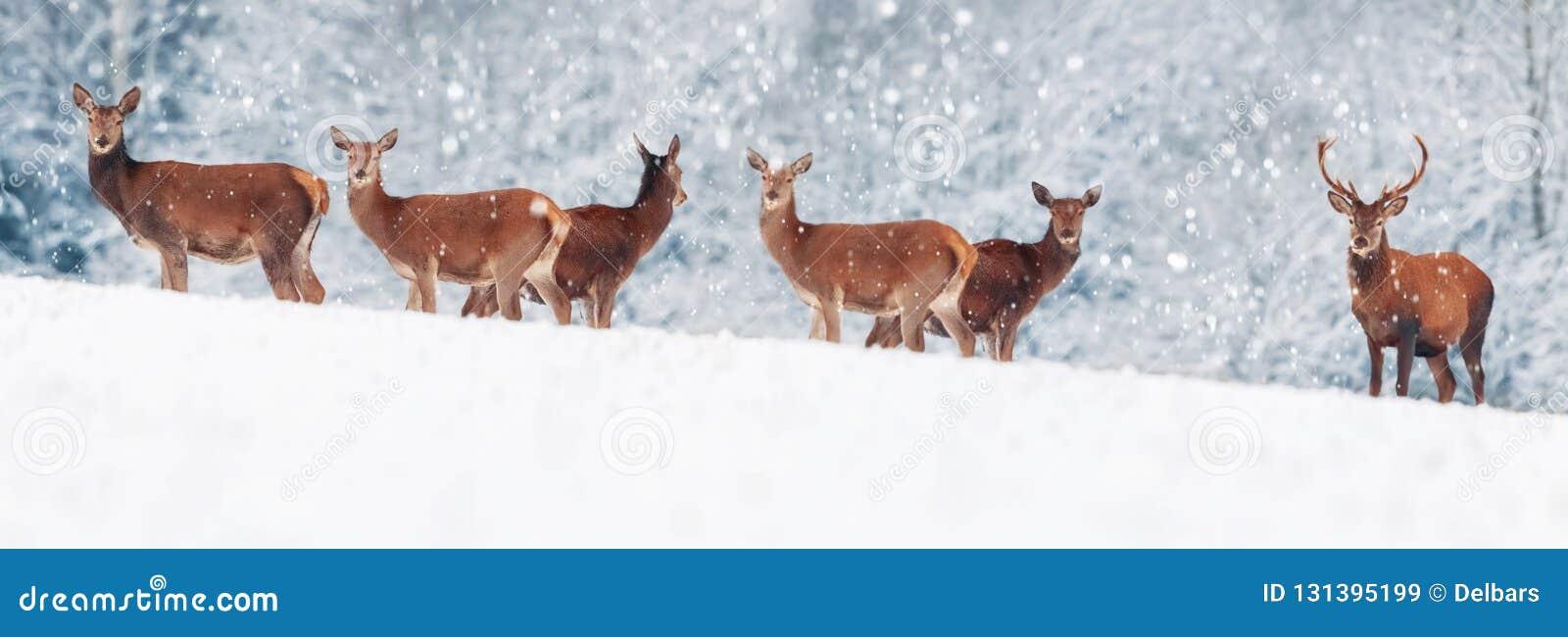 En grupp av härlig man och kvinnliga hjortar i den snöig vita för hjortCervus för skog nobla elaphusen Konstnärlig julvinterbild