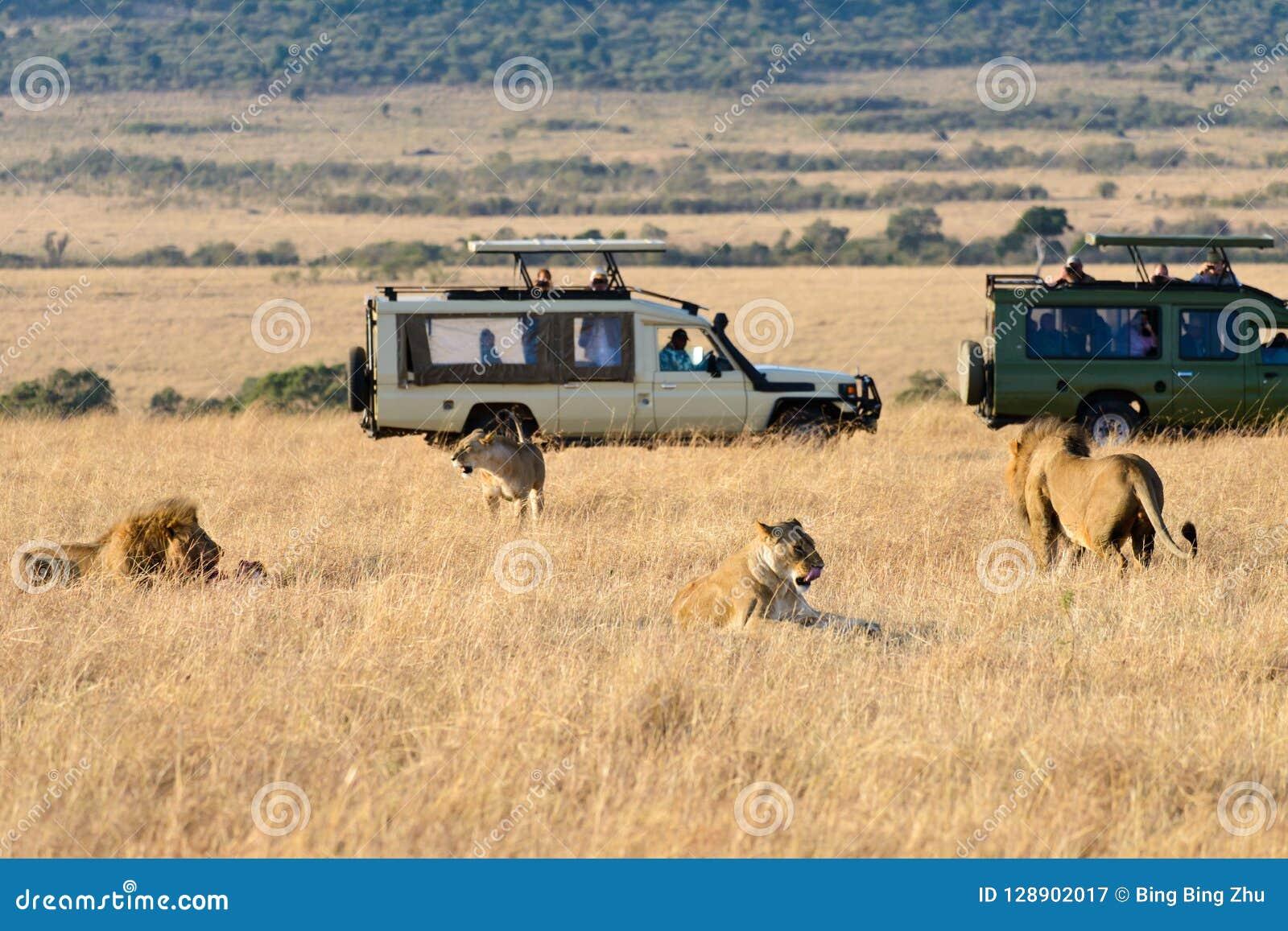 En grupp av lejon