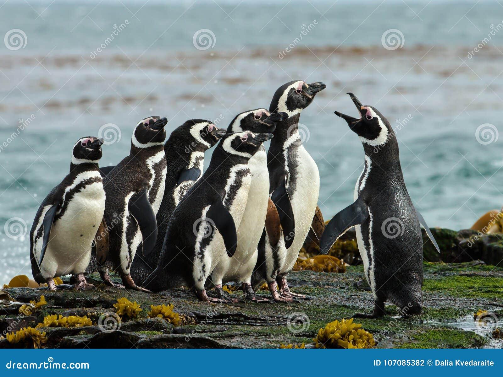 En grupp av Magellanic pingvinhopsamling på en stenig kust av Falklan
