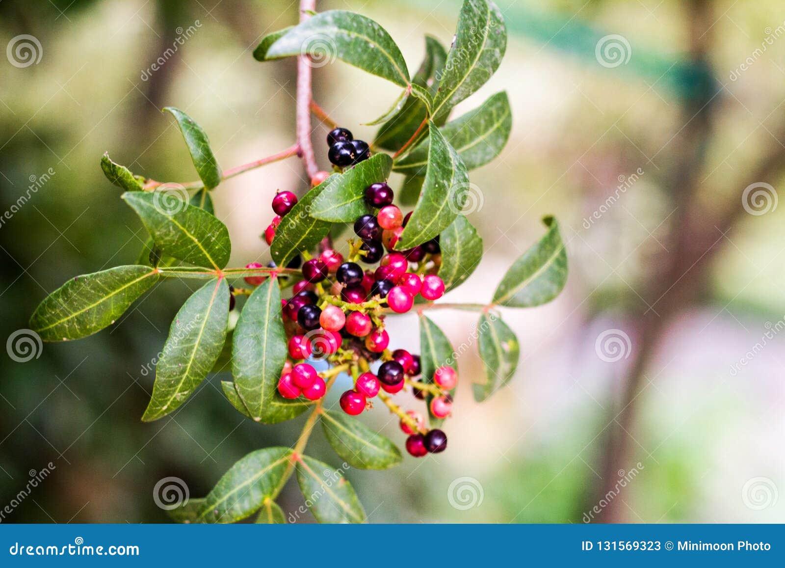 En grupp av röda bär i ett träd