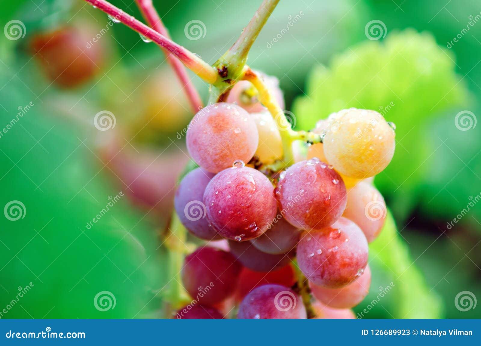 En grupp av stora röda druvor, närbild
