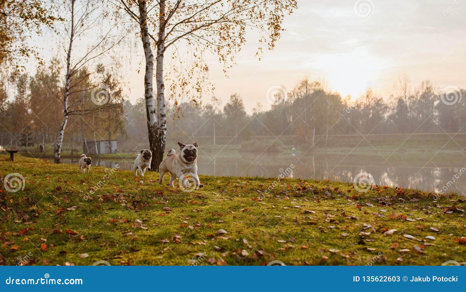 En grupp av tre mops, hundkapplöpning kör på grönt gräs, och höstsidor i parkerar, nära en sjö eller ett damm på solnedgången