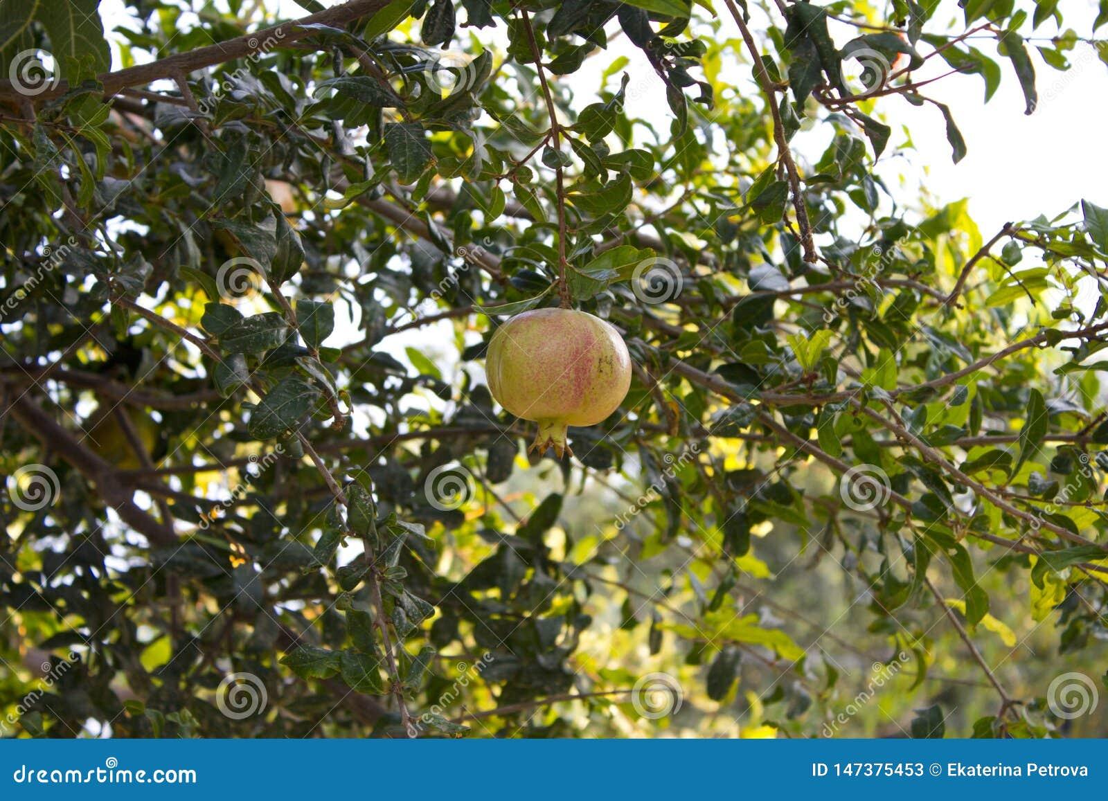 En gul granatrött som hänger på en filial med grön lövverk Den mogna granatäpplet växer på ett träd Gul granatrött