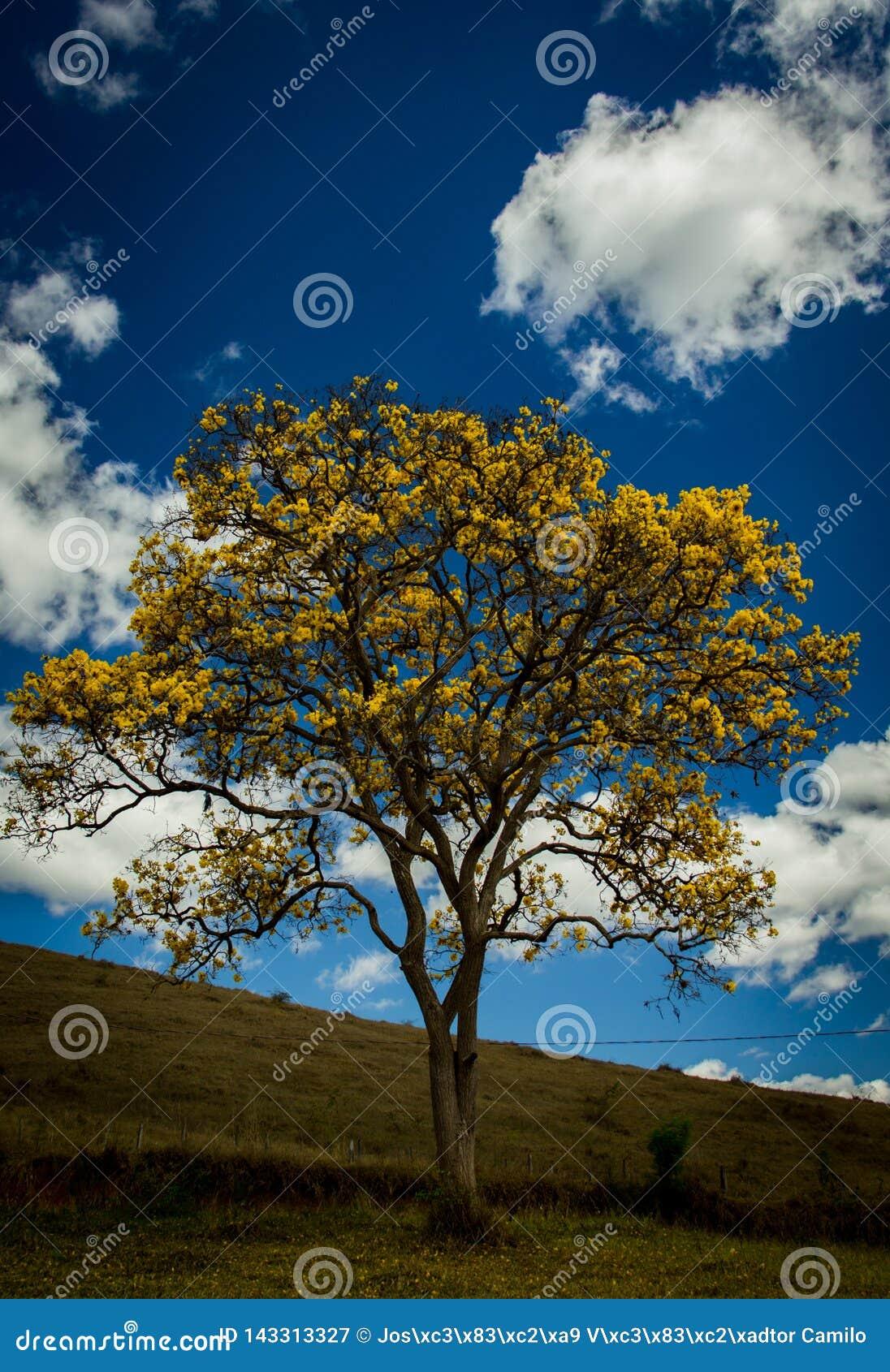 En gul ipée för träd 0f i den brasilianska cerradoen