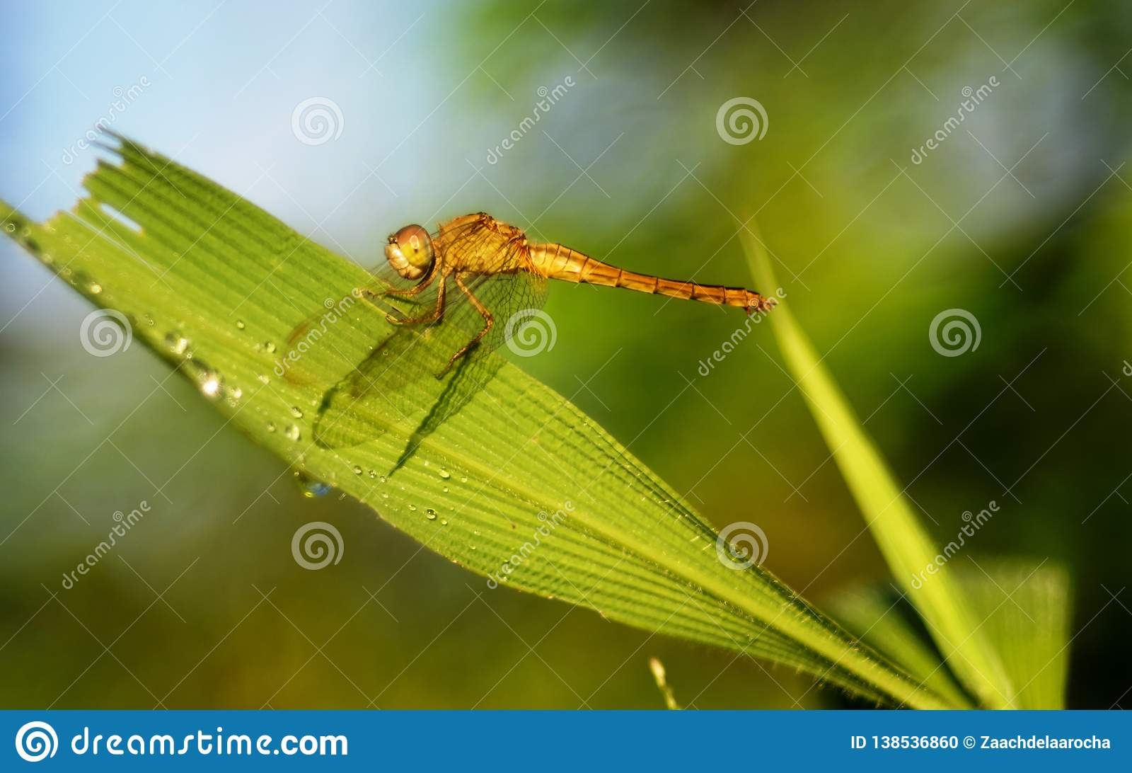 En gul slända, daggdroppar, grönt gräs