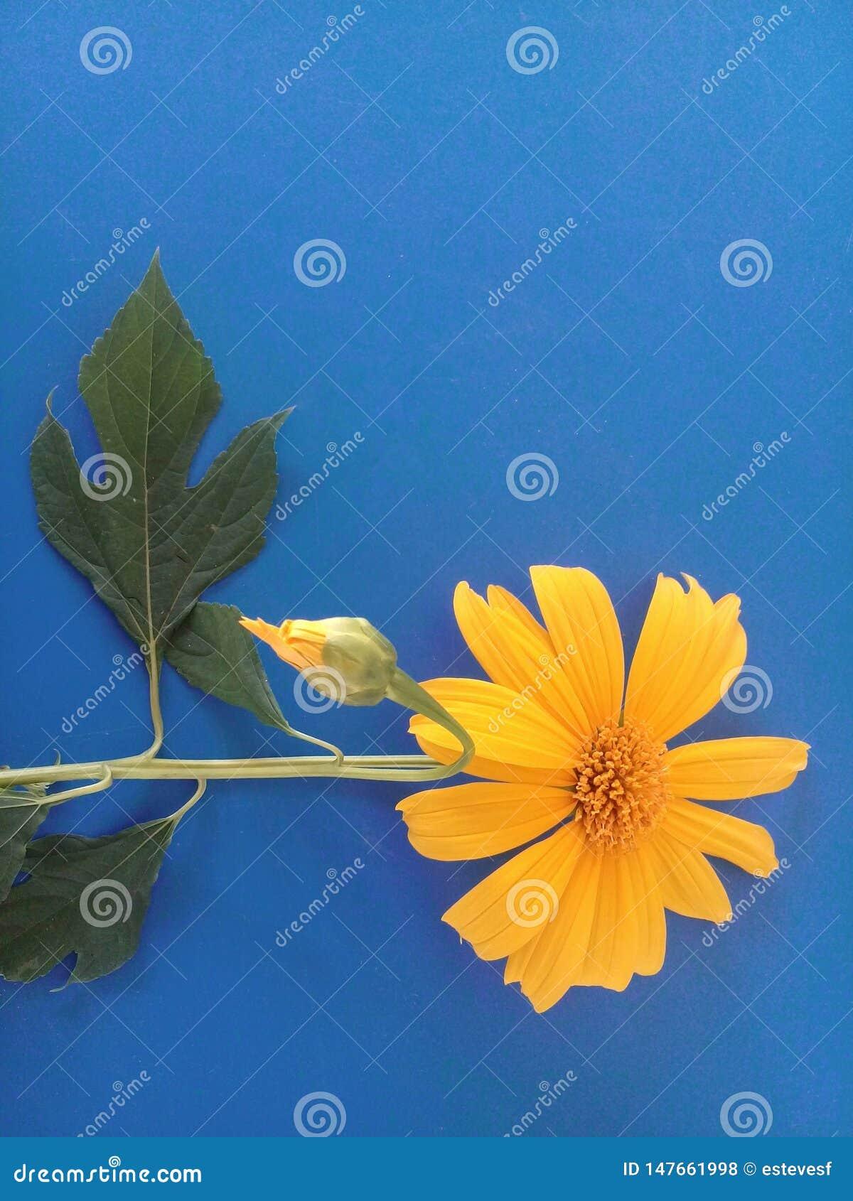 En härlig arvensis för Calendula 'för fältringblomma 'och den blåa bakgrunden