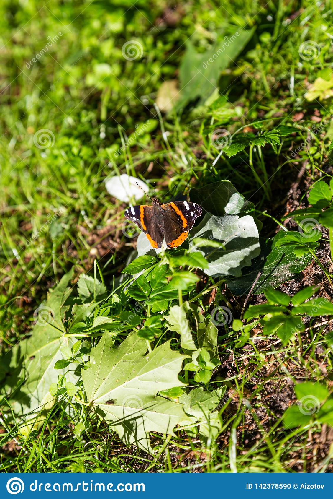 En härlig fjäril sitter på gräset fördelade dess vingar och är därefter lönnlöv på den spottade Curonianen, Ryssland