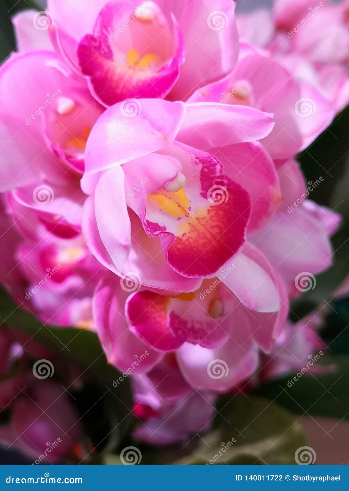 En härlig full klunga av mörkt och ljust - rosa orkidér, med gul mitt