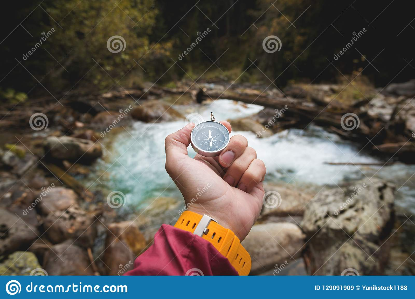 En härlig manlig hand med en gul klockarem rymmer en magnetisk kompass i en barrträds- höstskog mot a
