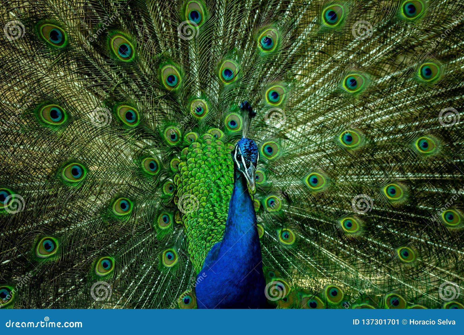 En härlig manlig påfågel som ser kameran