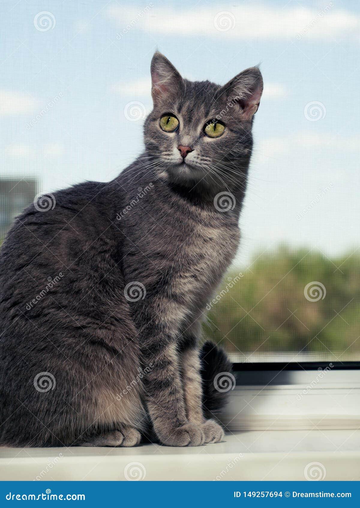 En h?rlig gr? gr?n?gd katt med svartvita band sitter p? f?nsterbr?dan och blickarna in i kameran Mot himlen