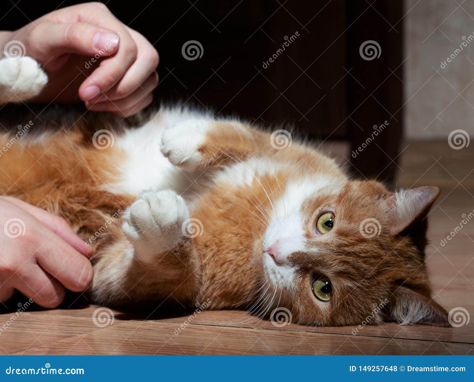En h?rlig r?d katt med svartvita band som spelar med en man p? golvet N?rbild Katten ?r tr?tt av att spela se