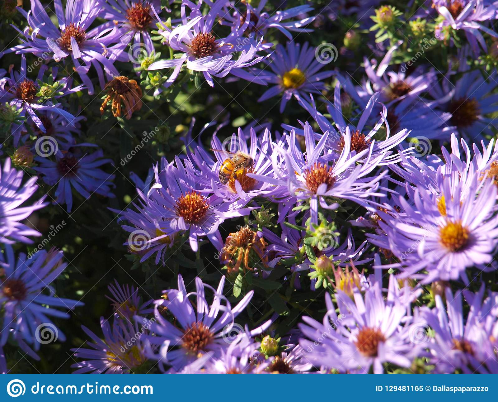 En Honey Bee Takes Nectar From A blått Daisy Flower Bed