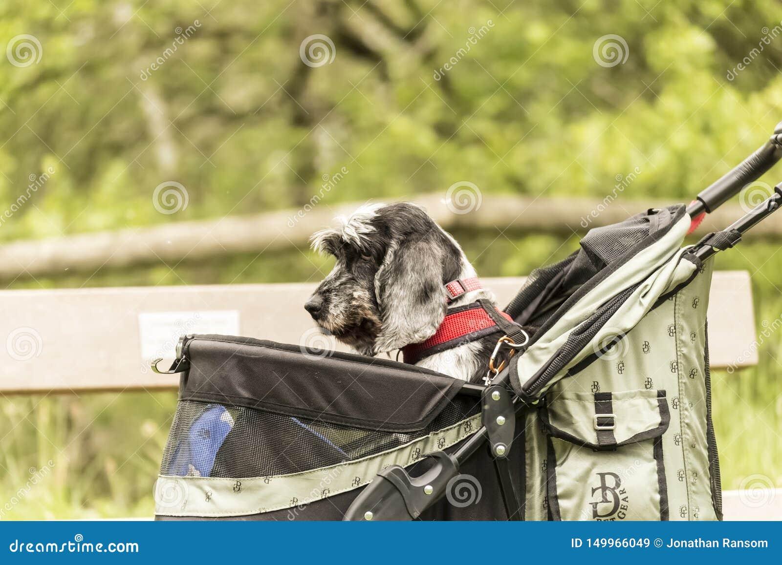 En hund i en älsklings- Pram som skjuts längs ett land, parkerar banan som ser ledsen