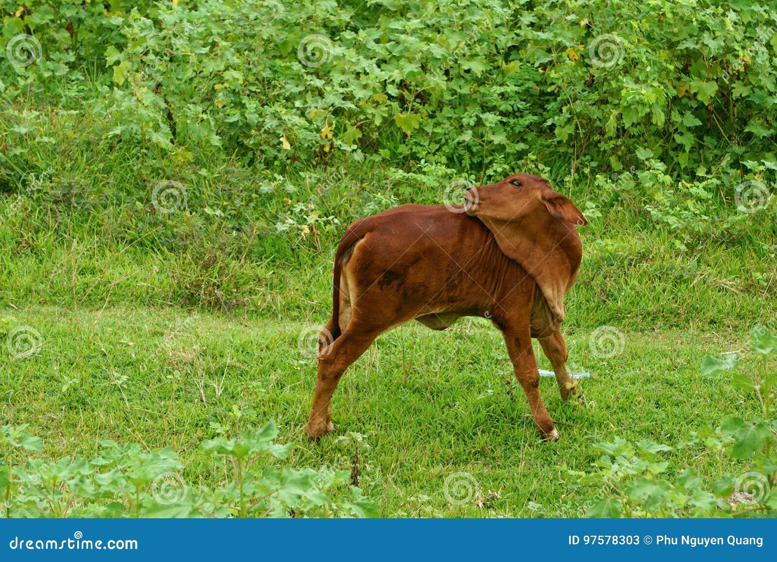 En kalv poserar på gräsmatta i morgonen