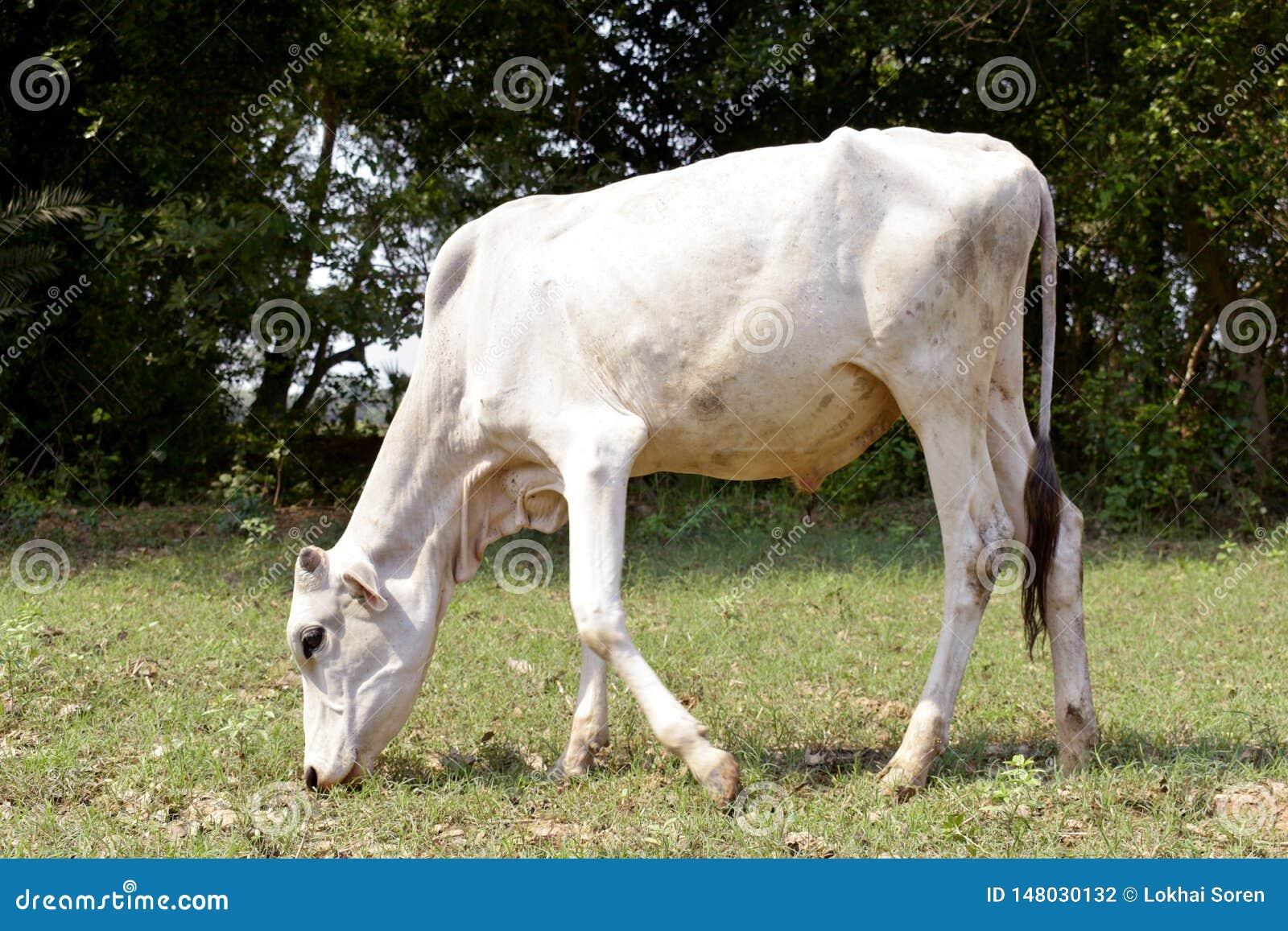 En ko äter gräs i fältet