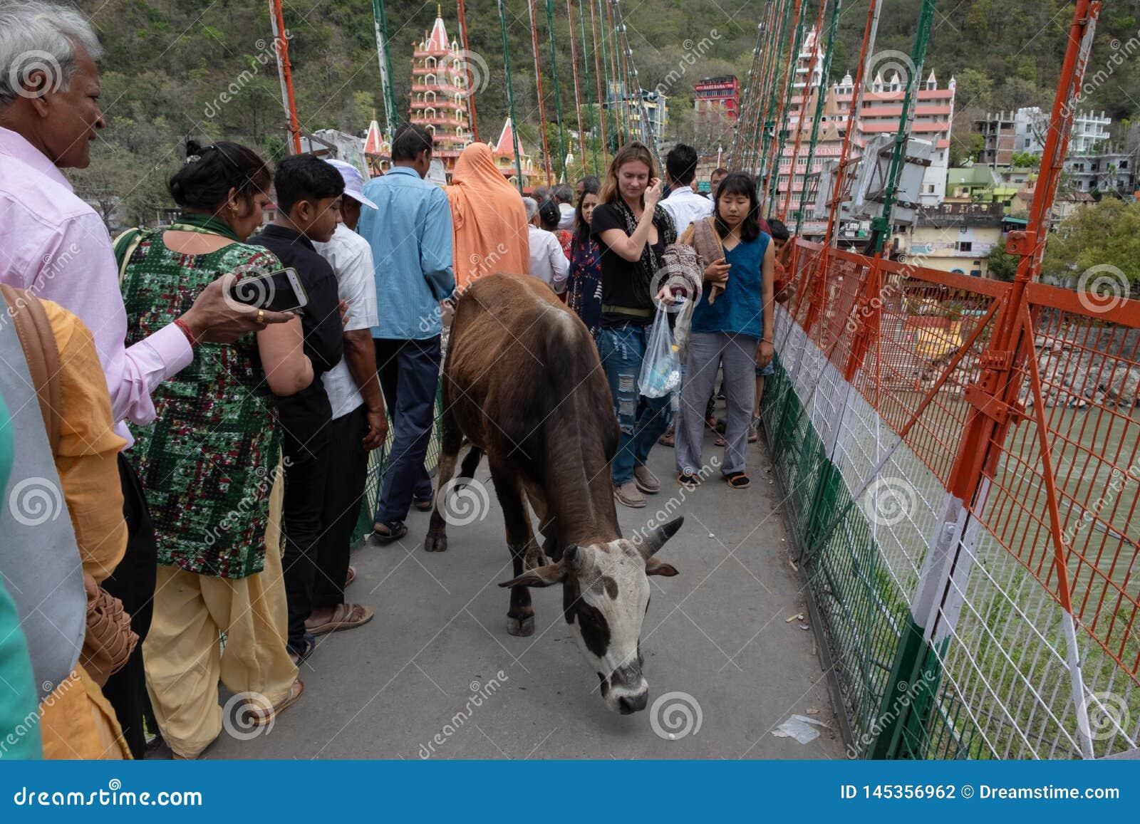 En ko gör långsamt det är vägen över Lakshman Jhula som redan tillfogar till