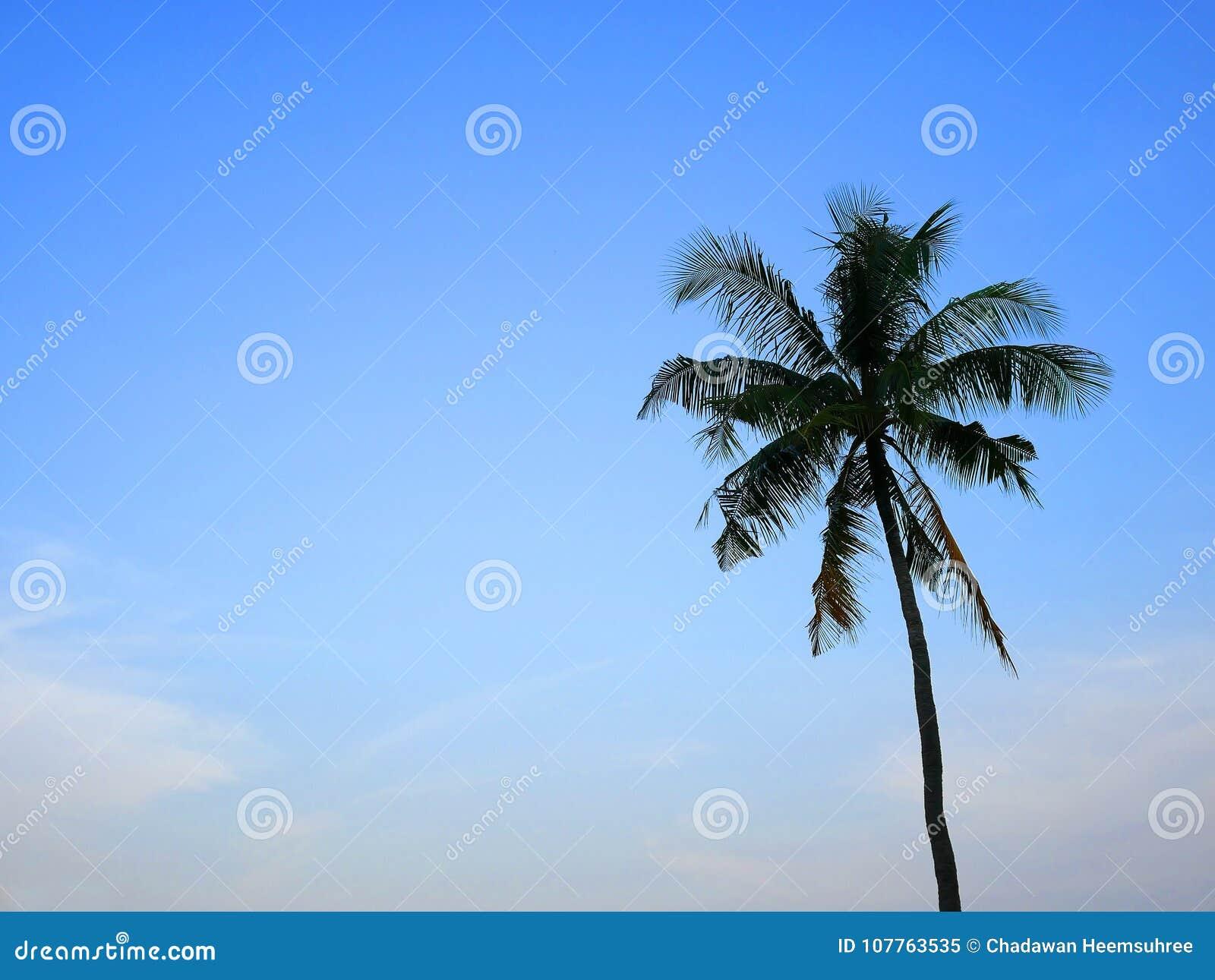 En kokospalm med blå himmel