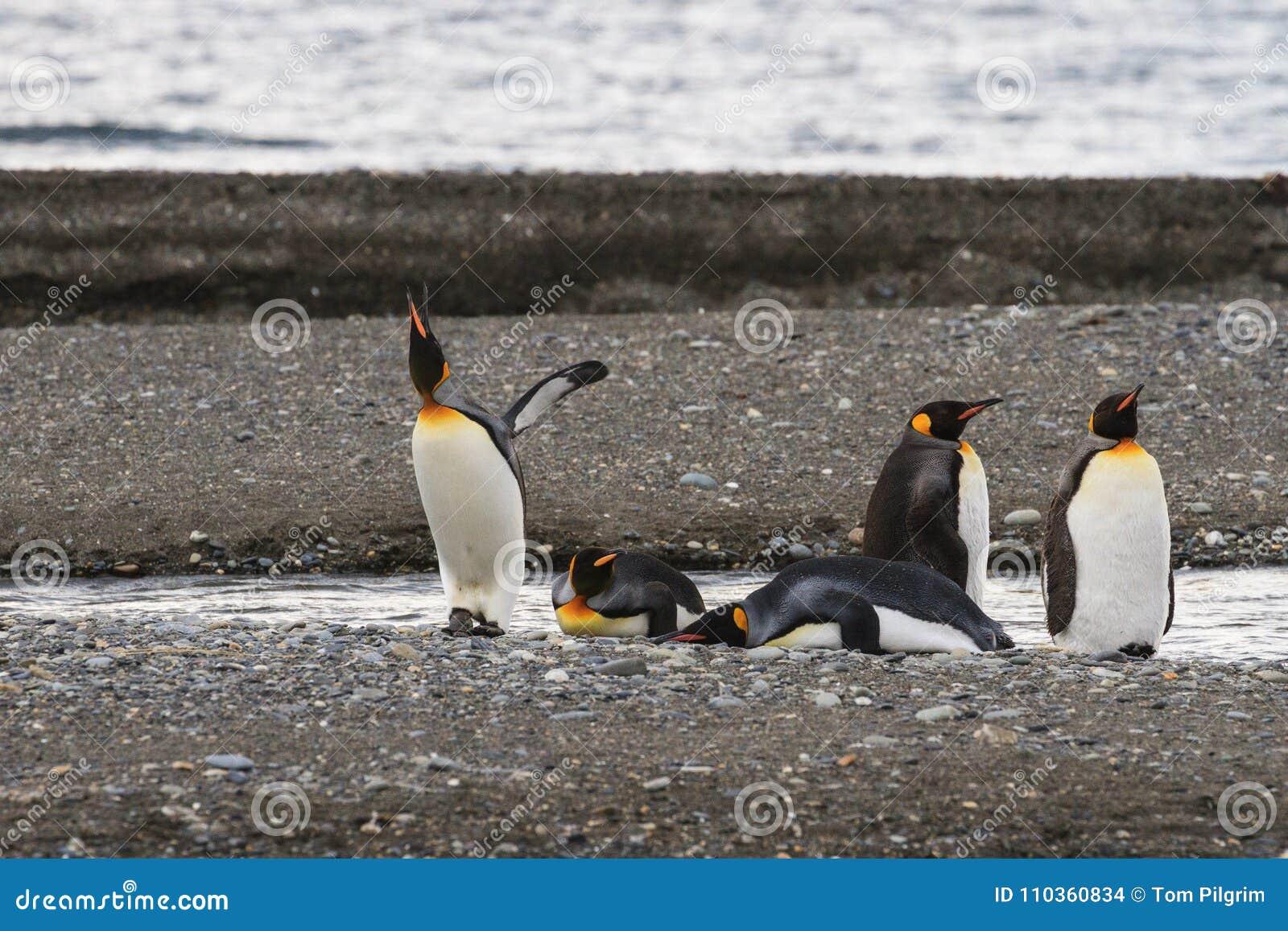 En koloni av konungen Penguins, Aptenodytespatagonicus som vilar på stranden på Parque Pinguino Rey, Tierra del Fuego Patagonia