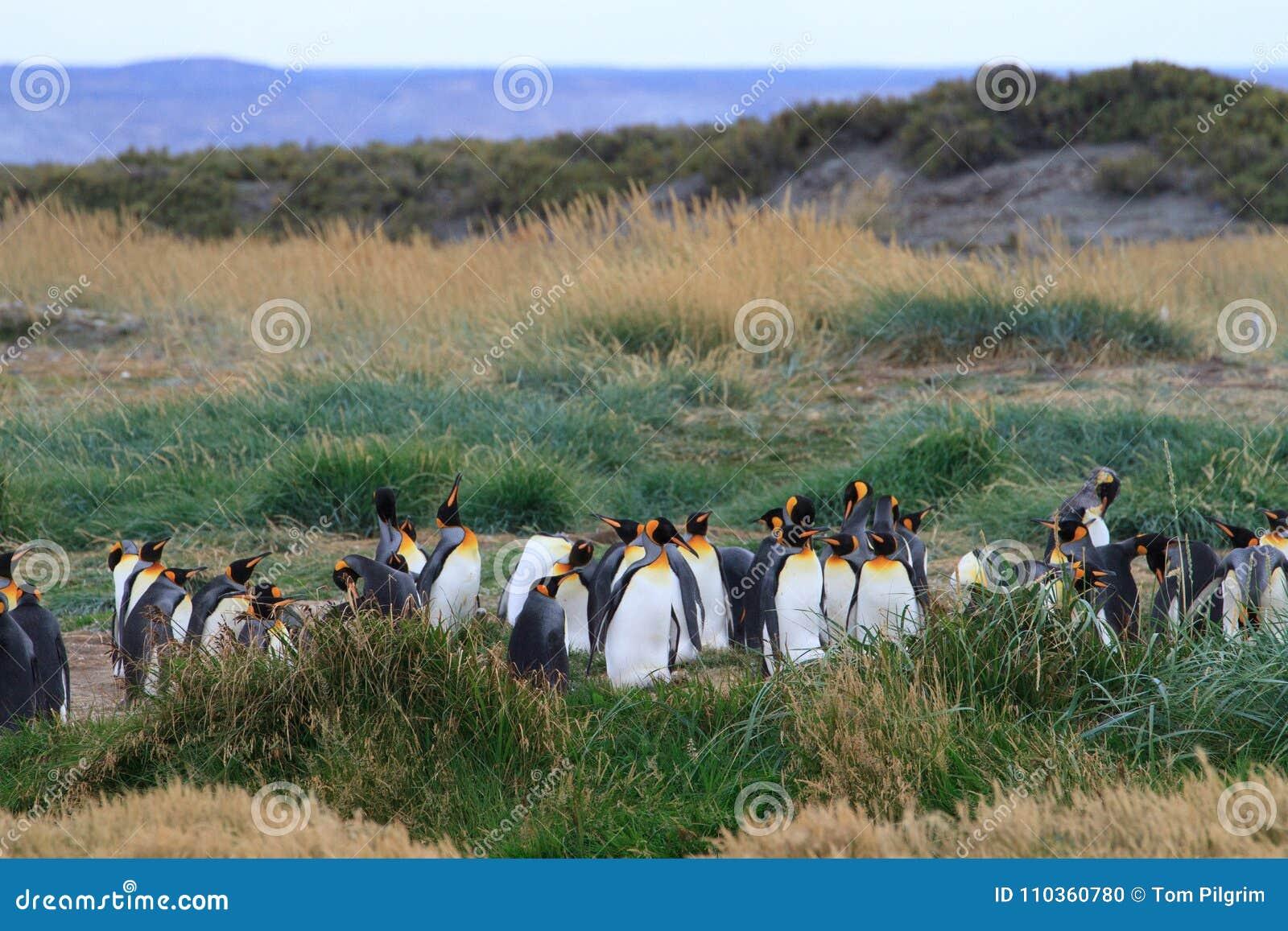 En koloni av patagonicusen för konung som Penguins Aptenodytes vilar i gräset på Parque Pinguino Rey, Tierra del Fuego Patagonia