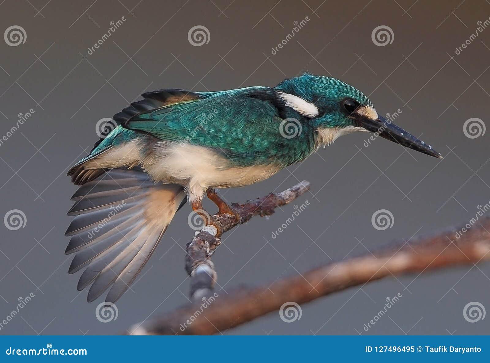 En kungsfiskare strecthed dess vinge på en filial