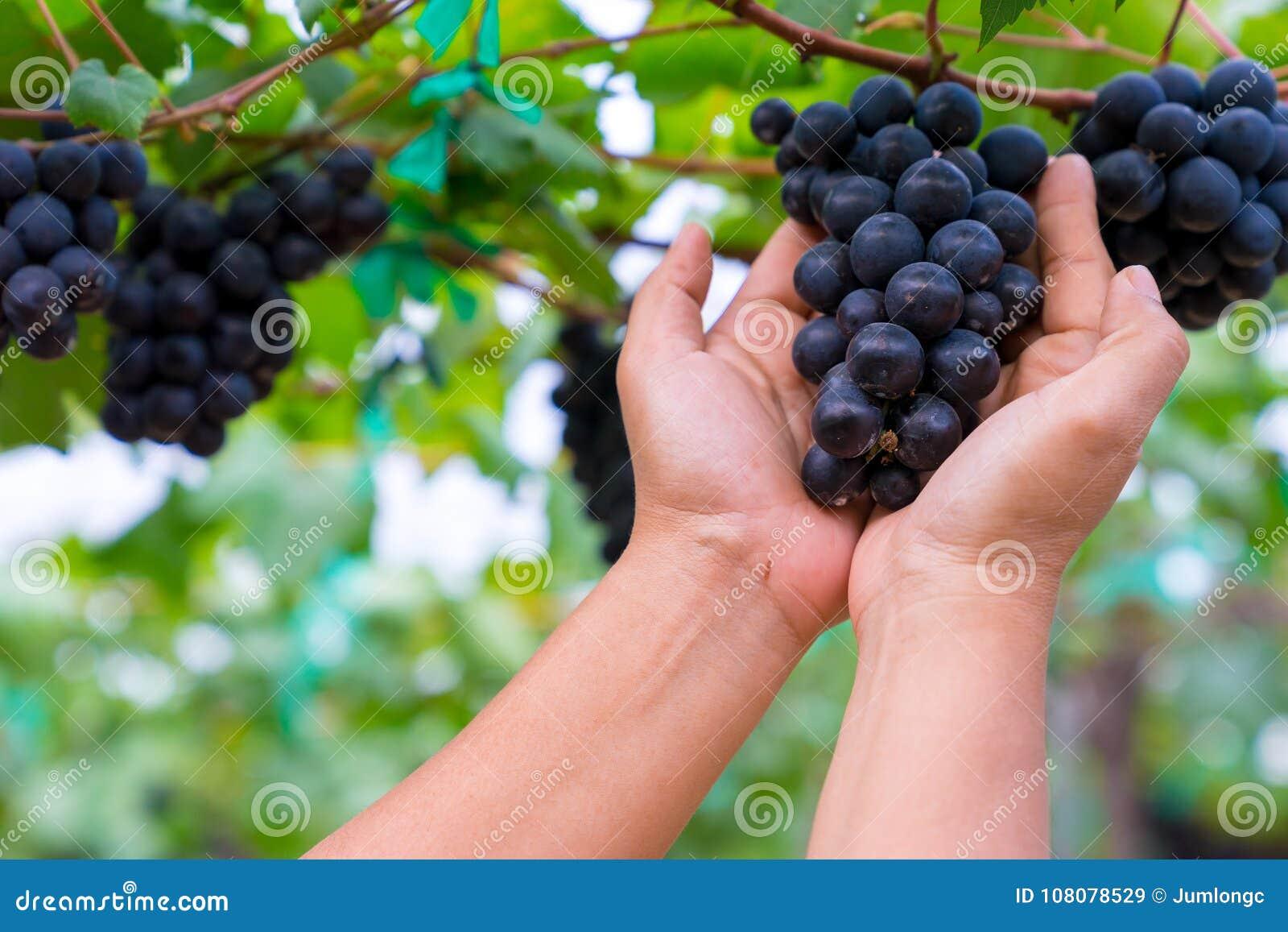 En kvinnahand som rymmer en grupp av svarta druvor