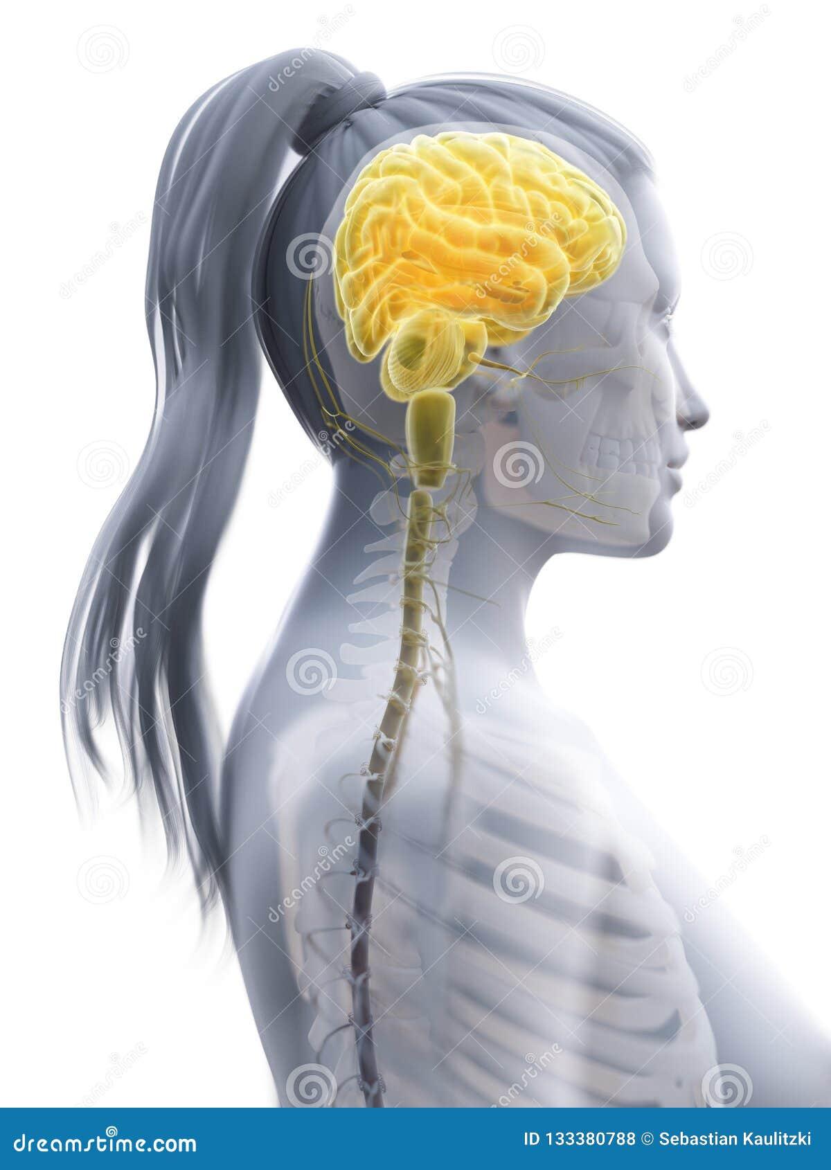 En kvinnas hjärna