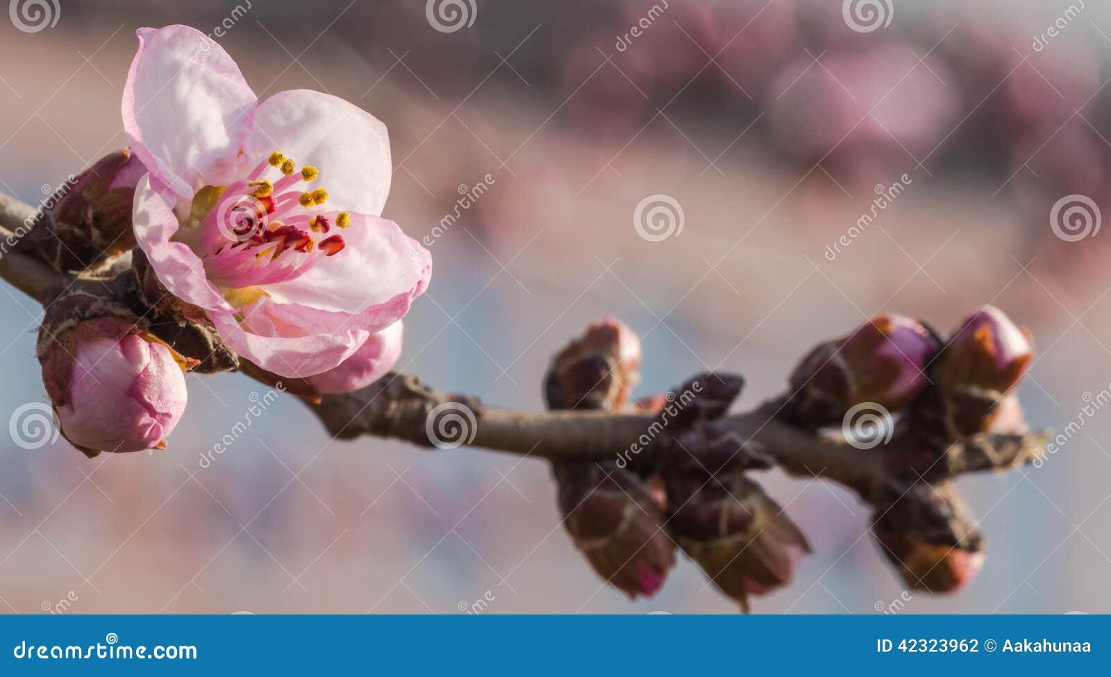 En la plena floración en el flor del melocotón