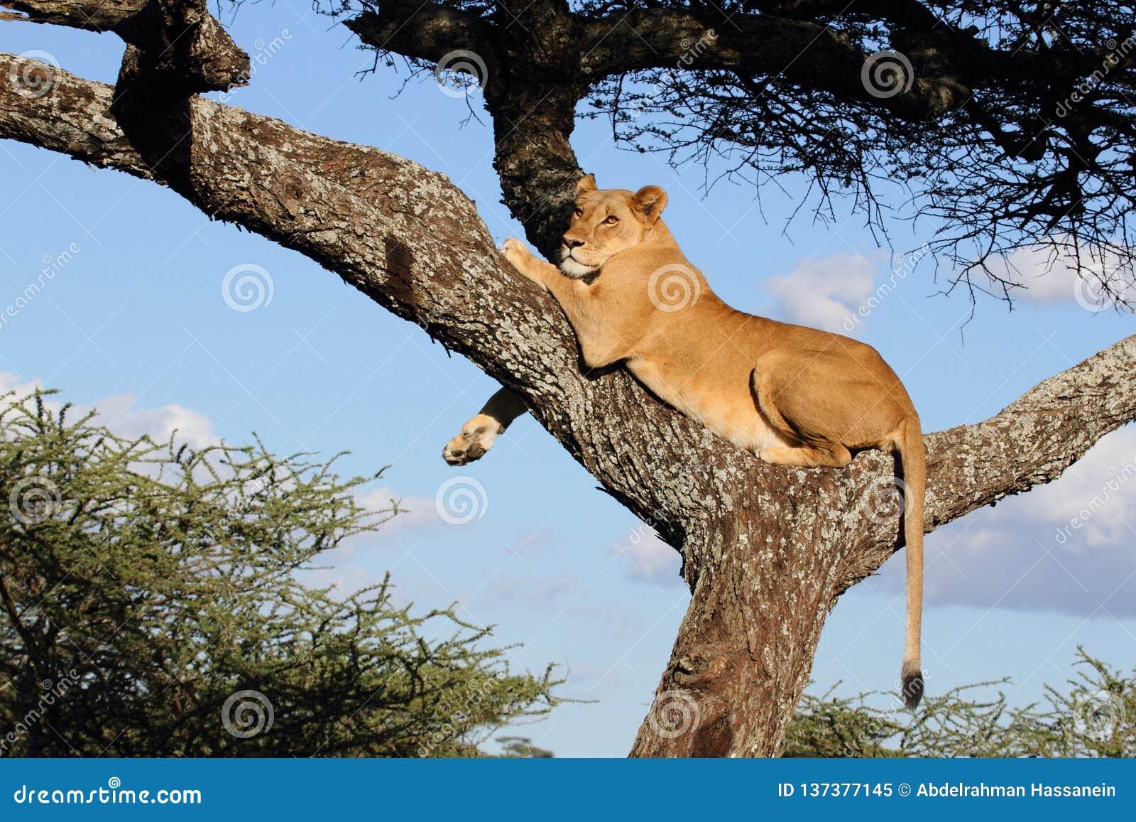 En lejoninna som vilar över akaciaträd