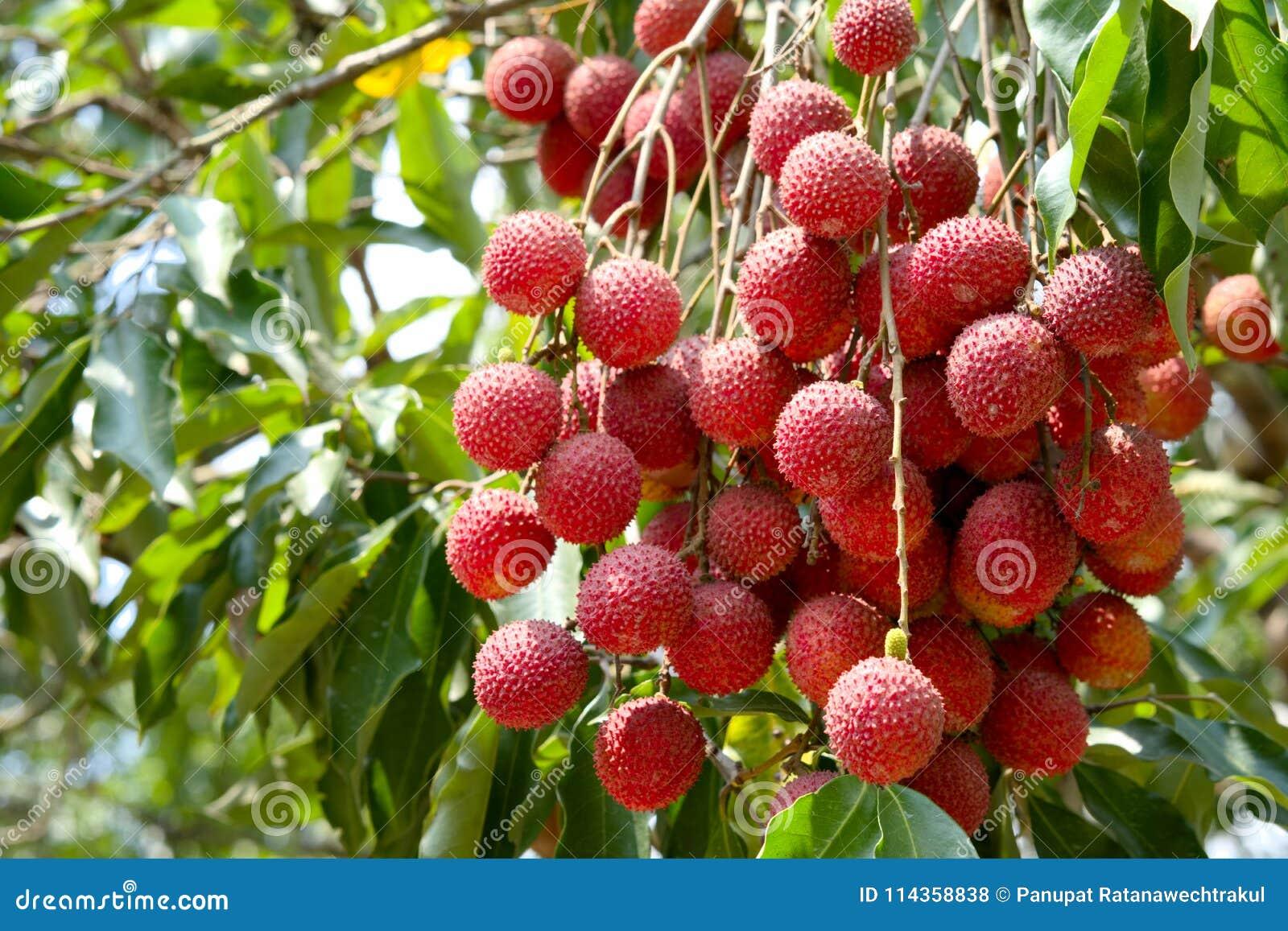 En litchiplommon och ett blad för ny frukt på litchiplommonträdet