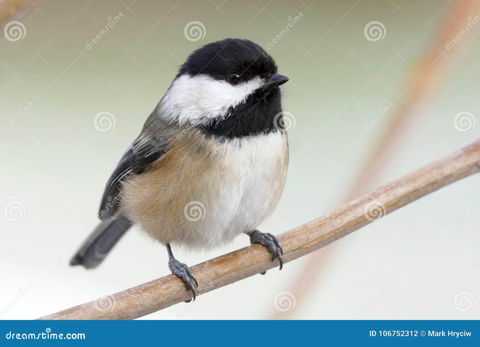 En liten gullig fågel kallade enkorkad Chickadee