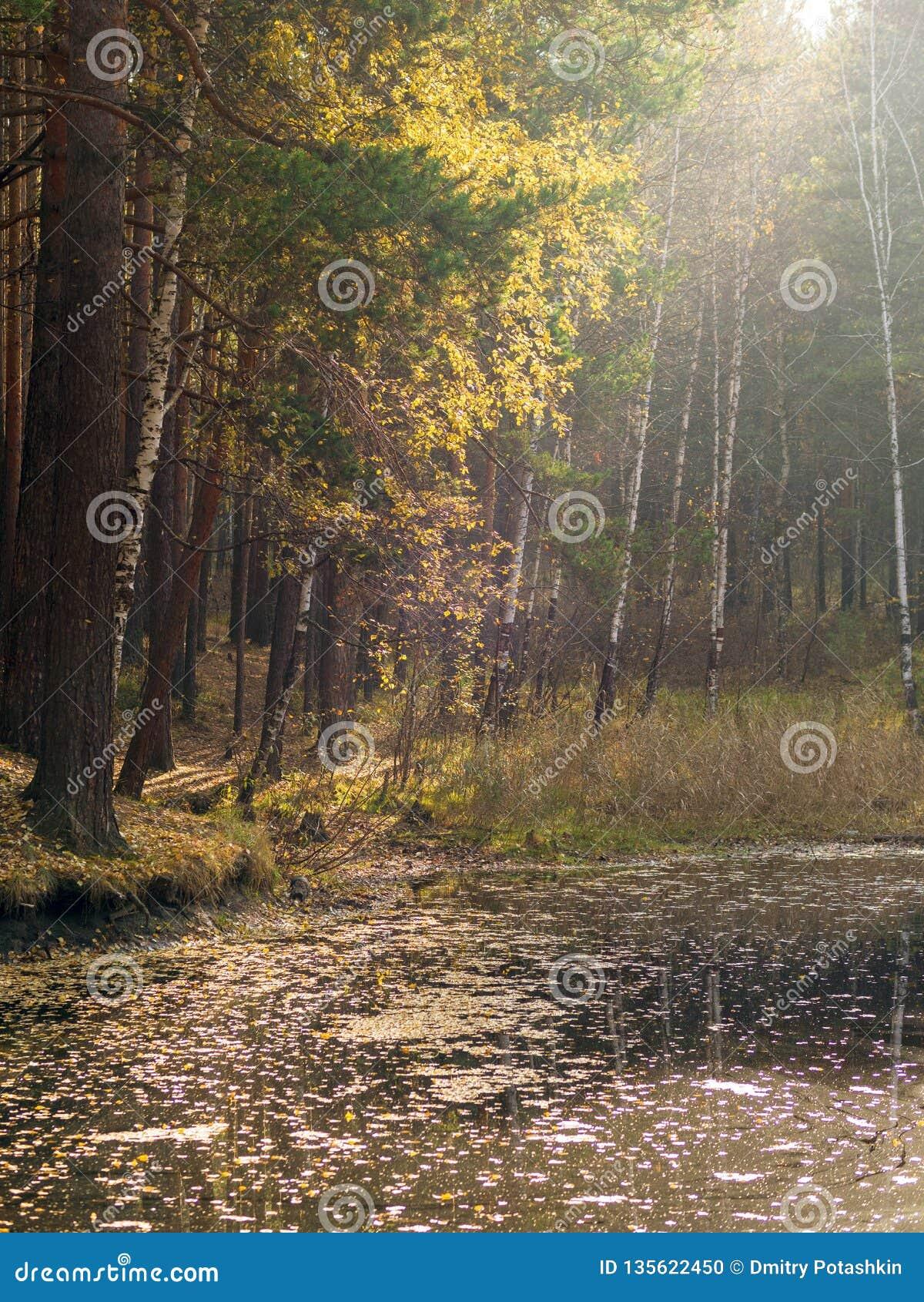 En liten sjö med sörjer och björkar på kusten i höstskogen