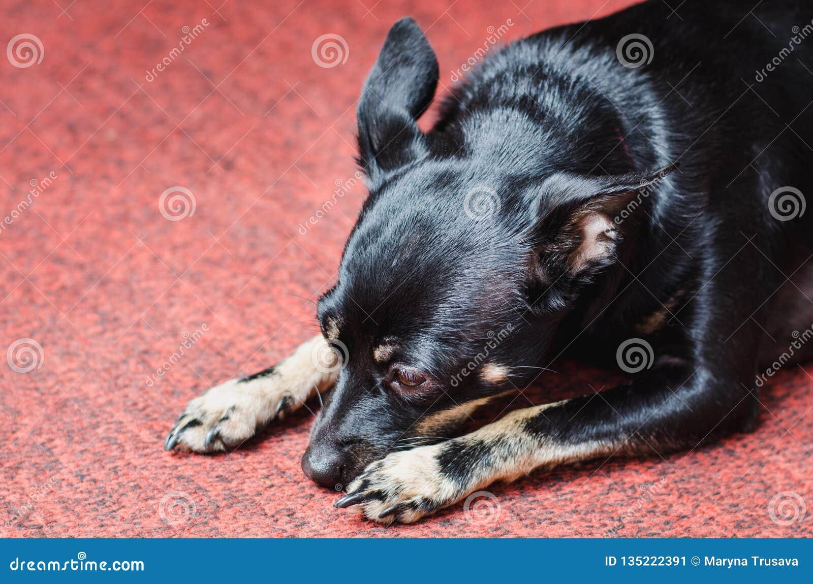 En liten svart slät-haired hund ligger på en rosa matta