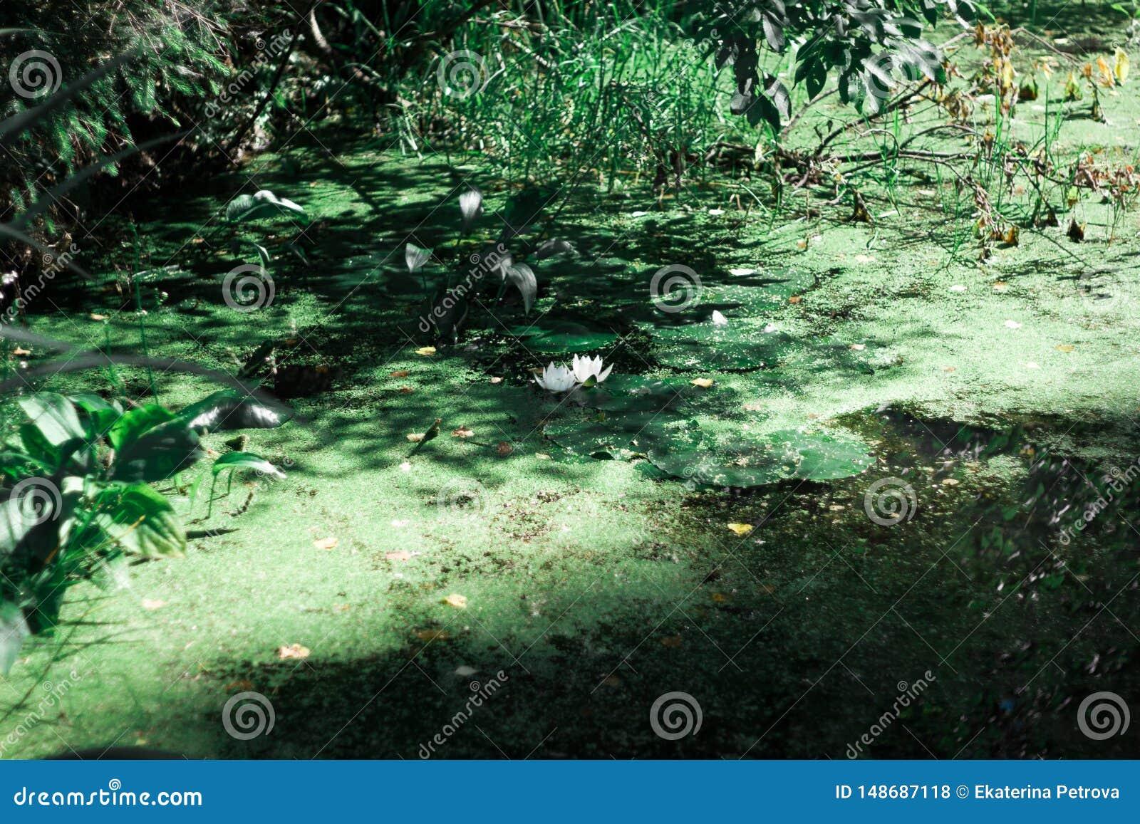 En liten vit näckros på ett skogdamm i en grön andmat N?ckros i vatten Forest Pond