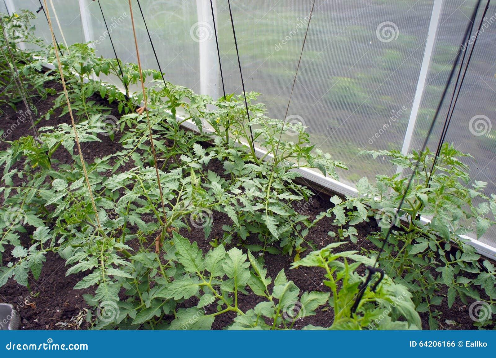 En los almácigos del tomate del invernadero