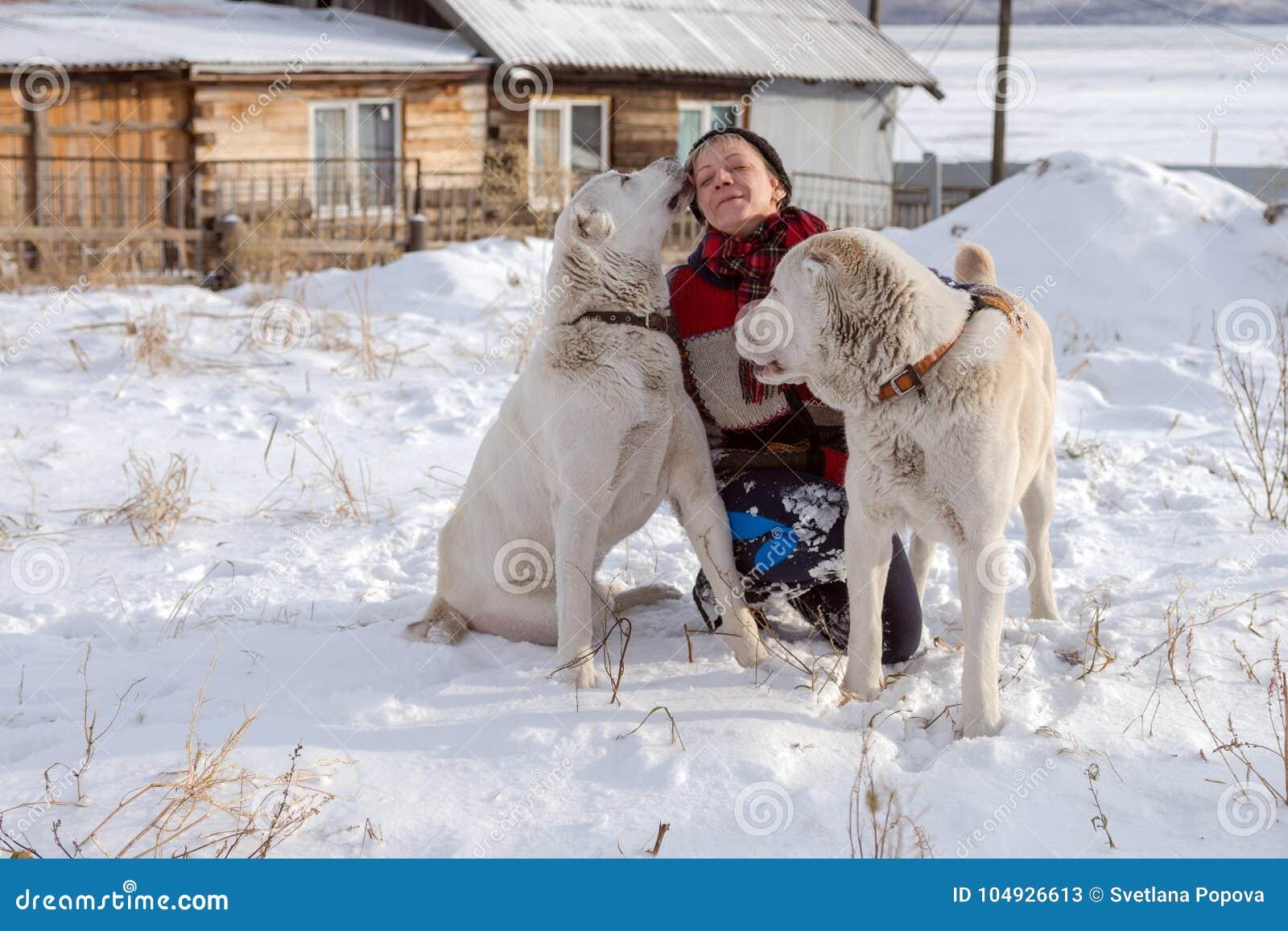 En lycklig kvinna sitter med två stora herdar i snön Hunden slickar hennes framsida
