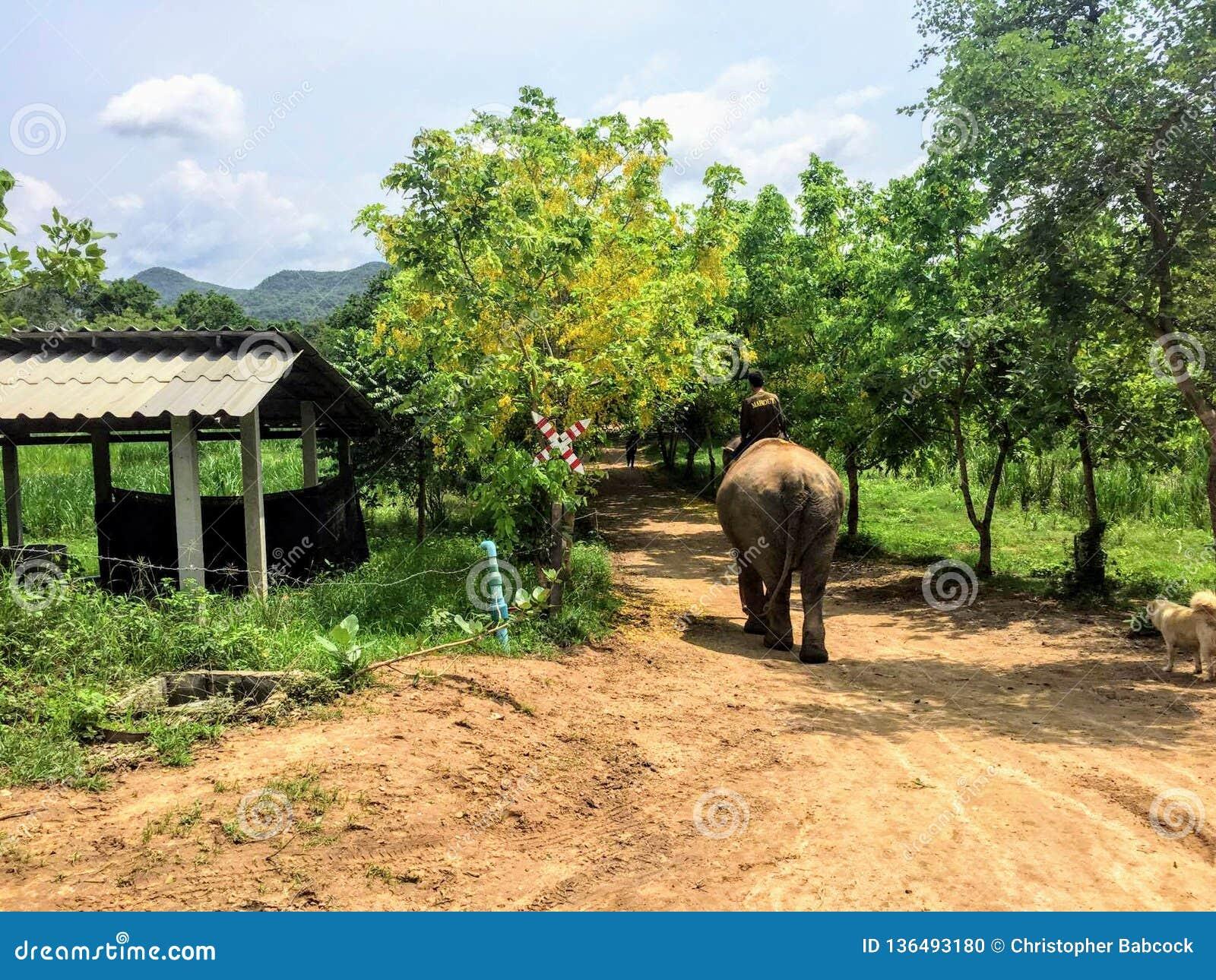 En mahout som förutom rider hans elefant till och med jordningen av ElephantsWorld Kanchanaburi Thailand