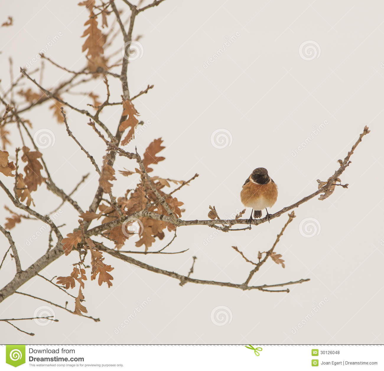 Stonechat som perching på en oak.