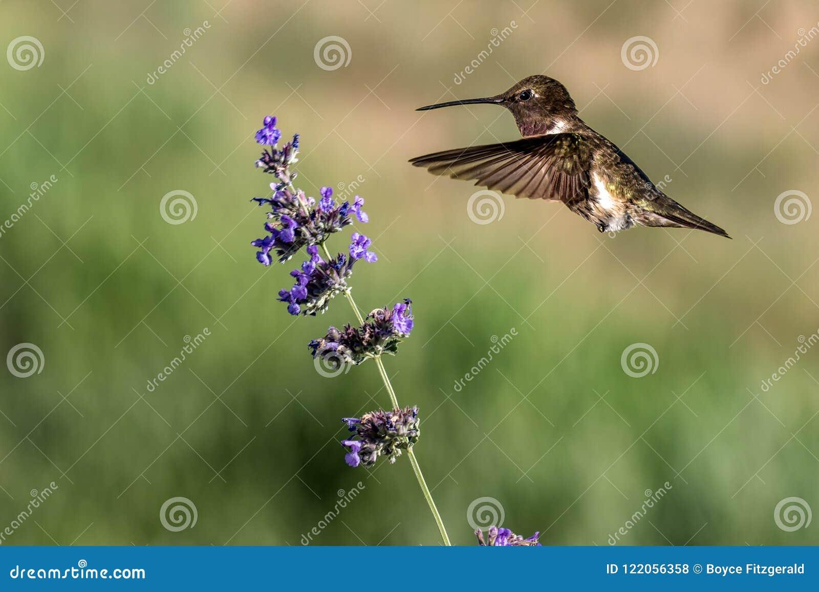 En manlig rubin-throated kolibri som svävar nära en lavendelblomma